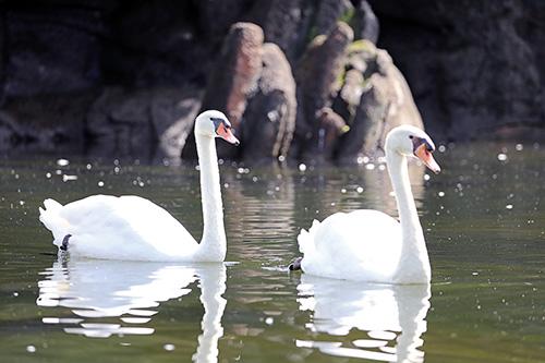 멸종위기종 혹고니와 개리, 서울대공원 큰물새장에 새롭게 둥지 틀어